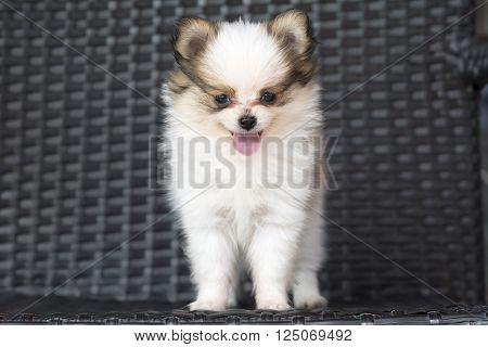 Cute Chihuehue Puppy Dog