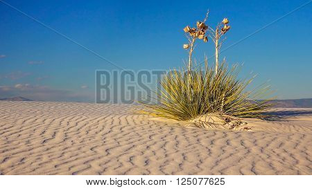Two Yucca plants sit on a a rippled sand dune in White Sands National Monument in New Mexico