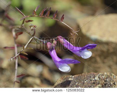 Vetch sp - Vicia cassia Native to Cyprus Turkey
