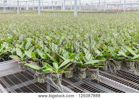 Orchid flowers growing in a big greenhouse