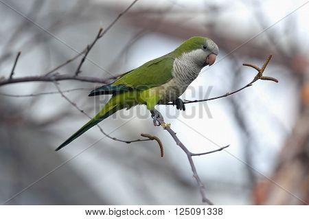 Quaker parrot is nesting in Edgewater in NJ