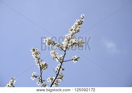 Cherry Blossom Branch. Red plum blossoms by classic beauty style
