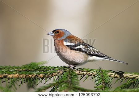 songbird Chaffinch sings on the branches of spruce spring