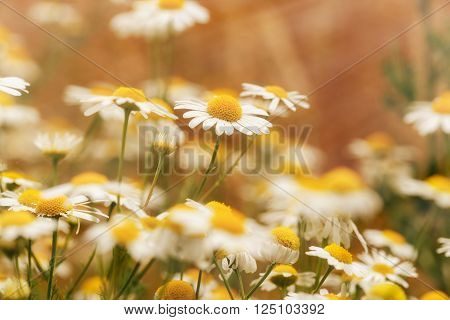 Wild chamomile in meadow - daisy flower in spring