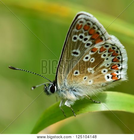 Brown argus (Aricia agestis) showing underside of wings. Delicate brown butterfly in the family Lycaenidae, at rest in a British meadow