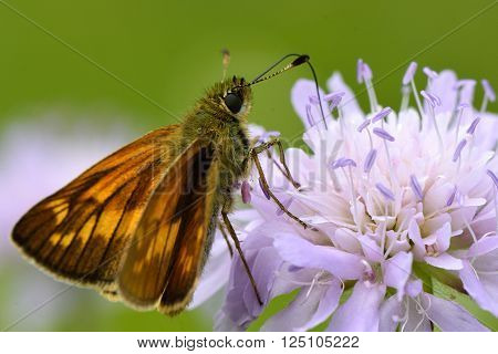 Large skipper (Ochlodes sylvanus) nectaring on scabious. Distinctive butterfly in the family Hesperiidae, in a British calcareous grassland meadow with upperside visible
