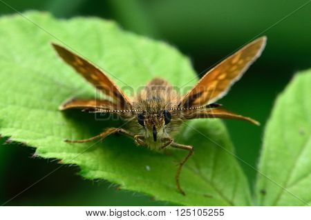 Large skipper (Ochlodes sylvanus) in distinctive resting position. Butterfly in the family Hesperiidae, in a British calcareous grassland meadow at rest with wings at angles