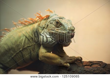 Iguana profile; large green iguana in a natural setting against ** Note: Shallow depth of field