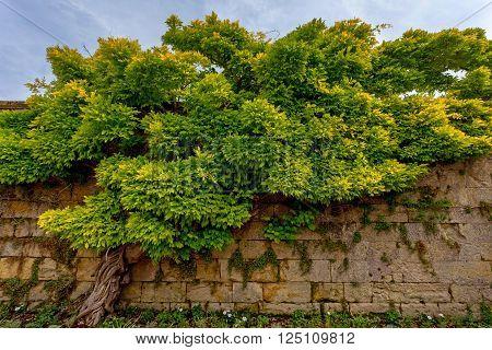 Beautiful Chinese wisteria ( Wisteria sinensis )