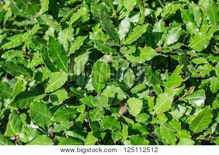 Fresh leaves of laurel plant. Macro shot.