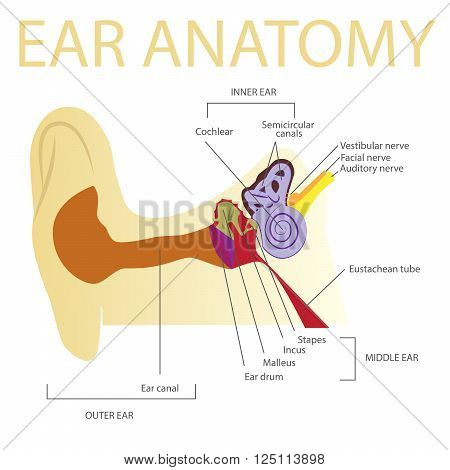 human ear anatomy vector illustration on white