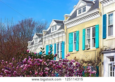 Spring colors of residential street in Washington DC USA. Dogwood tree blooms in front of immaculate houses.