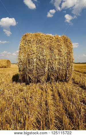 piled in the agricultural field haystacks straw. cereals. summer