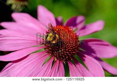 Blossom purple coneflower (Echinacea purpurea) on natural green background. Echinacea is a medicinal plant for immune system.