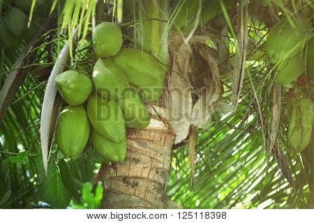 Coconuts hanging on the tree.