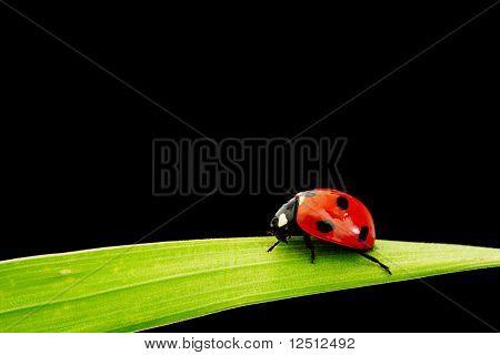 Mariquita sobre hierba
