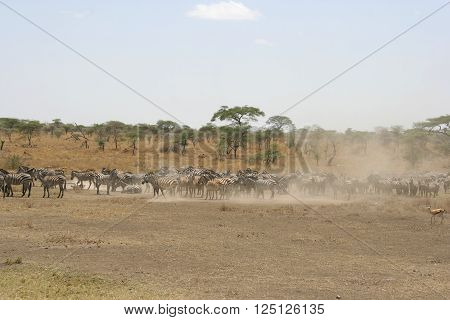 A herd of zebras take a dust bath on the savannah of the Serengeti National Park the Tanzania's largest and most famous reserve.
