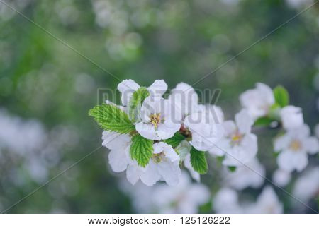 Spring beautiful blossoming apple-tree or cherry branches. Springtime background. Close up. Spring branch of a tree with blossoming white small flowers on a bokeh background of green leaves.