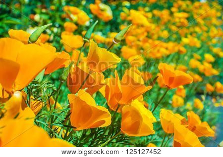 Bright orange california poppies in full bloom Eschscholzia californica.