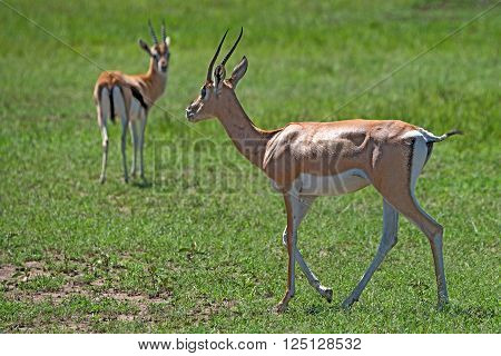 Wild Grant's gazelle is grazing in national park