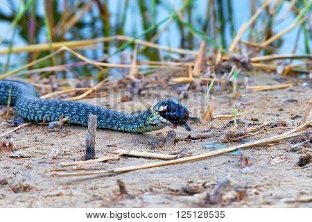 Grass snake (Natrix natrix) is eating its prey