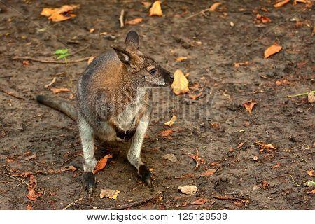 Bennett's tree-kangaroo ( Dendrolagus bennettianus ) in captivity