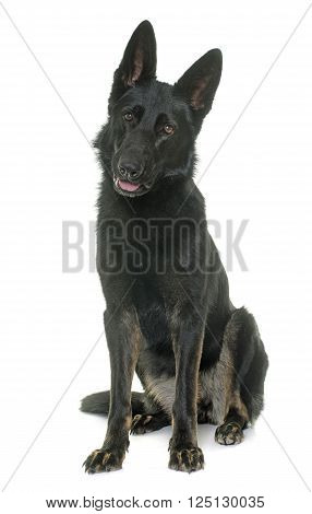 black german shepherd in front of white background