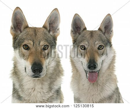czechoslovakian wolf dogs in front of white background