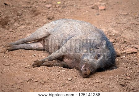 Peccary aka javelina or skunk pig is lying on the ground