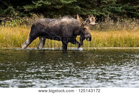 A bull moose walks through a part of the Snake River to access another meadow at Schwabachers landing in Grand Teton National Park