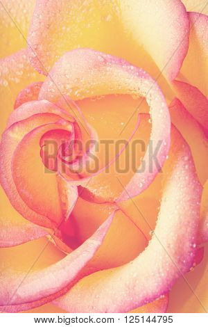 Yellow and pink delicate rose close up vertical