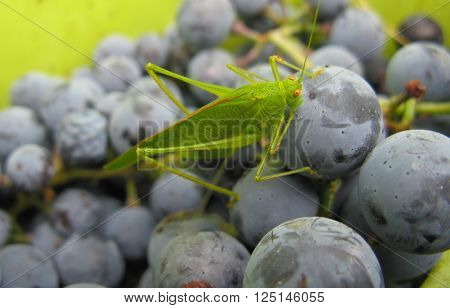 Grasshopper in a bucket full of grapes