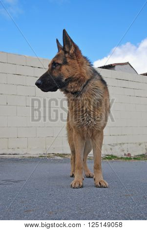 German shepherd dog standing and looking for something