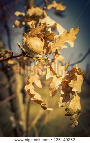 Dried leaves of oak tree and its gall in close-up. Vignette.