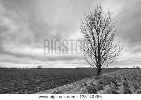 Monochrome picture of a solitary bare tree against a cloudy sky in the beginning of the spring season.