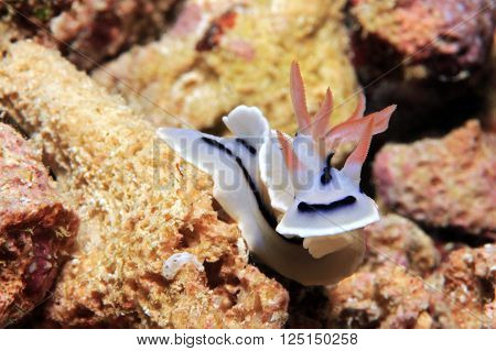 Loch's Magnificent Slug (Chromodoris Lochi) Nudibranch. Mansuar Raja Ampat Indonesia