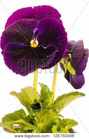 Viola tricolor on a white background.  In this picture we see the spring flowers of violets on a white background.