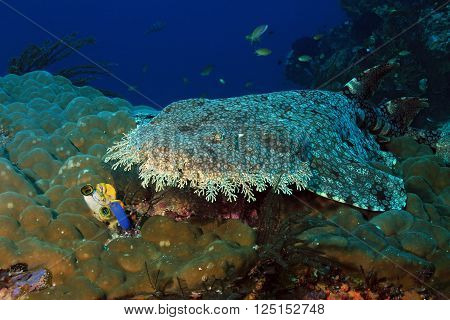 Tasselled Wobbegong (Eucrossorhinus Dasypogon) Lying on a Coral Reef against Blue Water. Dampier Strait Raja Ampat Indonesia