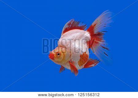 photo of beautiful goldfish in the aquarium
