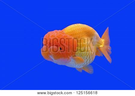 beautiful ranchu or lion head goldfish in fish tank