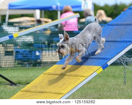 Miniature Schnauzer Jumping Off an A-Frame at Dog Agility Trial