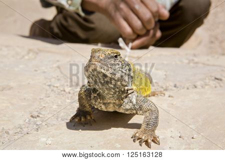 Uromastyx geyri commonly known as the Saharan Uromastyx Saharan Spiny-tailed Lizard or Geyr's Dabb Lizard