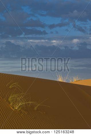 Plants in sand dunes in Sahara desert Merzouga Morocco