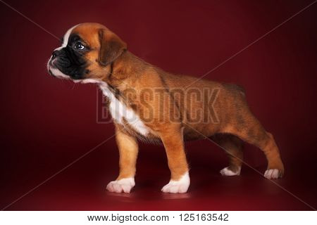 Purebred red boxer puppy standing in the show position on the deep red background in the Studio