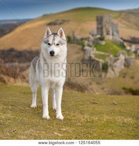 female Siberian Husky portrait with castle ruins