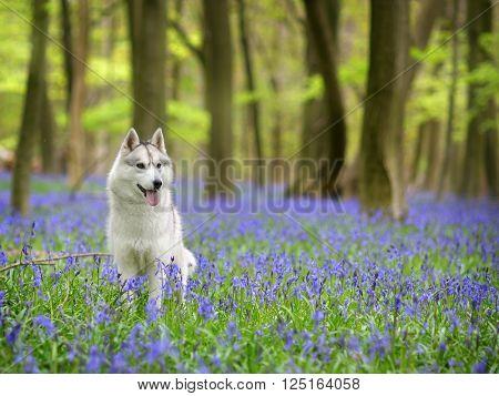 female Siberian Husky portrait in bluebell forest