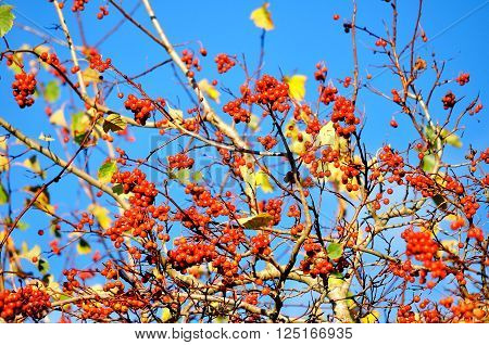 Autumn colorful background - mountain ash tree berries against blue sky. Selective focus at the center berries.
