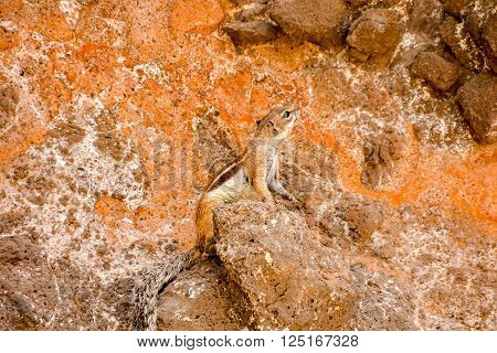 Barbary Ground Squirrel Atlantoxerus Getulus on the Spanish Island Fuerteventura