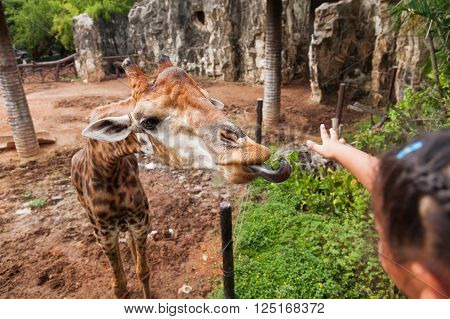 Little child is feeding a giraffe. Entertainment for young children at the zoo.