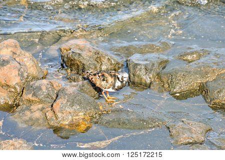 One Adult Kentish Plover Water Bird near a Rock Beach